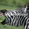 Braying Zebra, Ngorongoro