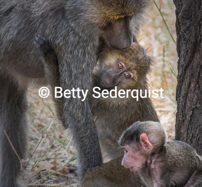 Baboon Family