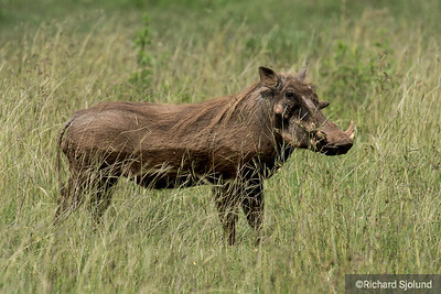 Warthog in the Ngorongoro Crater  in Tanzania