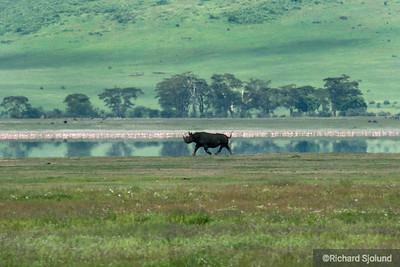 Black Rhino in the  Ngorongoro Crater in Tanzania