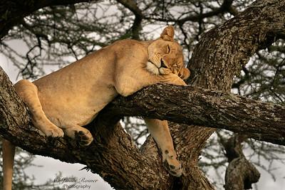 SLeepy Lioness III