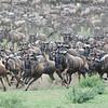 Wildebeest in Tanzania by Kitty Kono in July 2014.