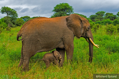 Elephant mother and baby in Tanzania