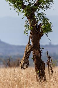 Leopard jumping off tree in Tarangire National Park