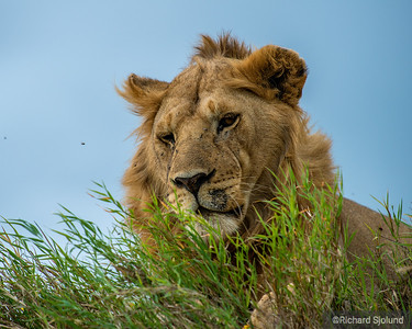 A male Lion with flies in Tanzania