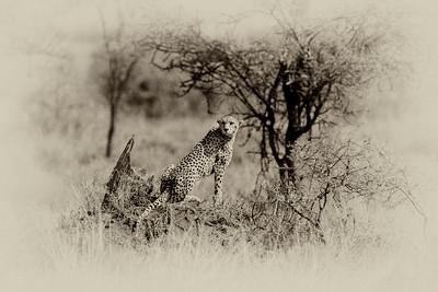 Cheetah 7155b