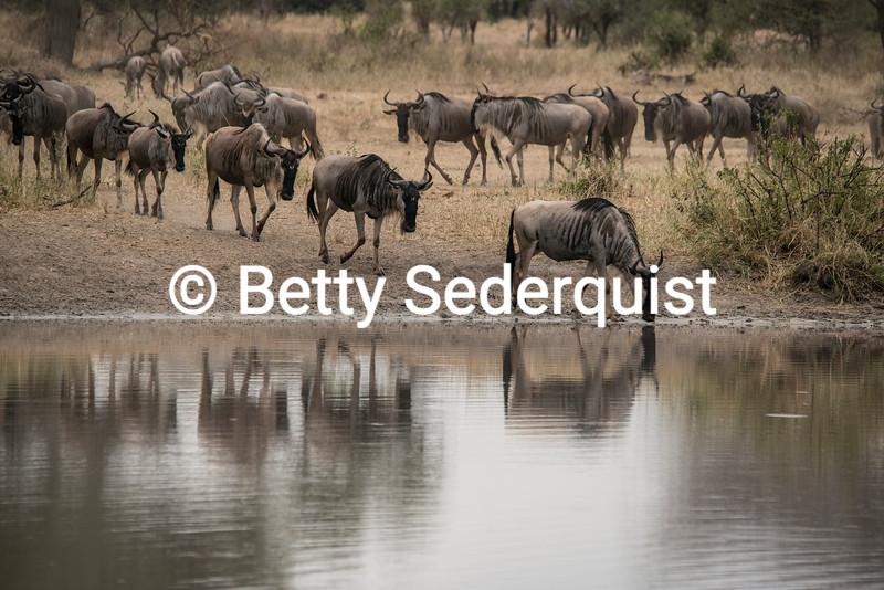 Wildebeest Reflections