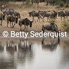 Wildebeest Reflections