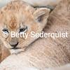Cuddling Baby Lion