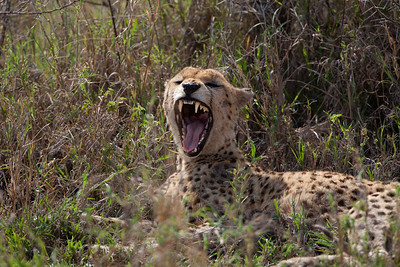 Cheetah 7129