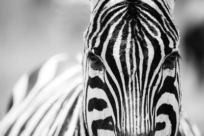 Zebra • Tanzania
