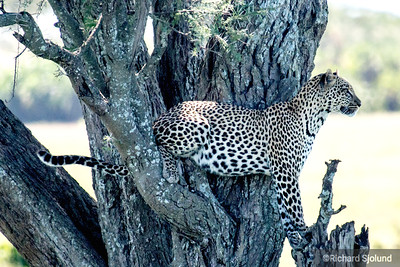 A Leopard watching from a tree in Tanzania