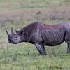 Black rhino Ngorongoro, crater, Tanzania, Kjerstin Ferm Widlund, Feb 2014
