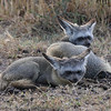 Bat-eared foxes