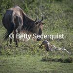 Wildebeest Mom and Newborn Calf