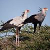 Secretary Birds in Tanzania by Doug Cheeseman taken in February 2012.