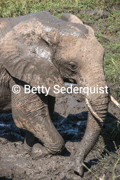 Baby Elephant and Mud Bath
