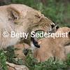 Yawning Mama Lion