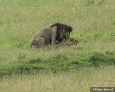 Male and Female Lion mating in Tanzania