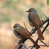 Collared Palm Thrushes