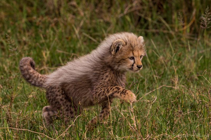 Cheetah cub, Ndutu, Tanzania, Christer Widlund, Febr. 2014.