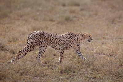 Cheetah 7370