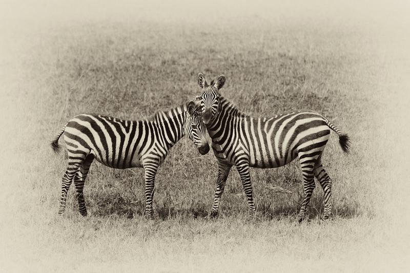 Zebras 9029