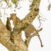 Leopard and her cub in the Serengeti by Ling Ma in Mar 2017.