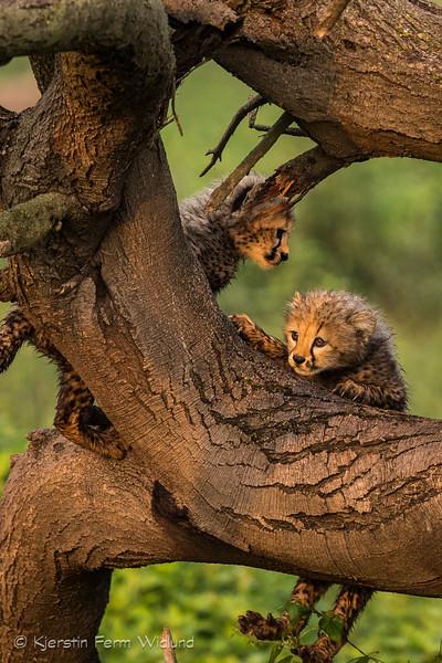Cheetah cubs having fun in a tree, Ndutu, Tanzania, Kjerstin Ferm Widlund, Feb 2014