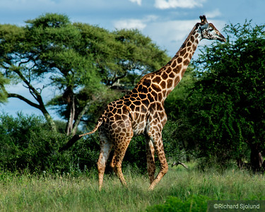 A Giraffe in Tanzania