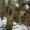 Leopard, Tarangire Tanzania, Kjerstin Ferm Widlund, Feb 2014