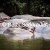 Pile of Hippos, Seronera River, Serengeti