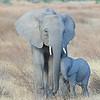 African Elephants in Tanzania by Kitty Kono in July 2014.