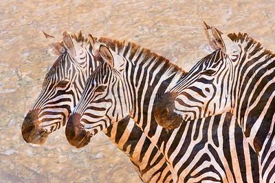 Zebras 5236b