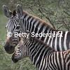 Mama and Baby Zebra, Serengeti