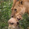 Female lion hiding her cubs before hunting, Ndutu, Tanzania, Kjerstin Ferm Widlund, Feb 2014