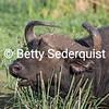 Cape Buffalo in Swamp
