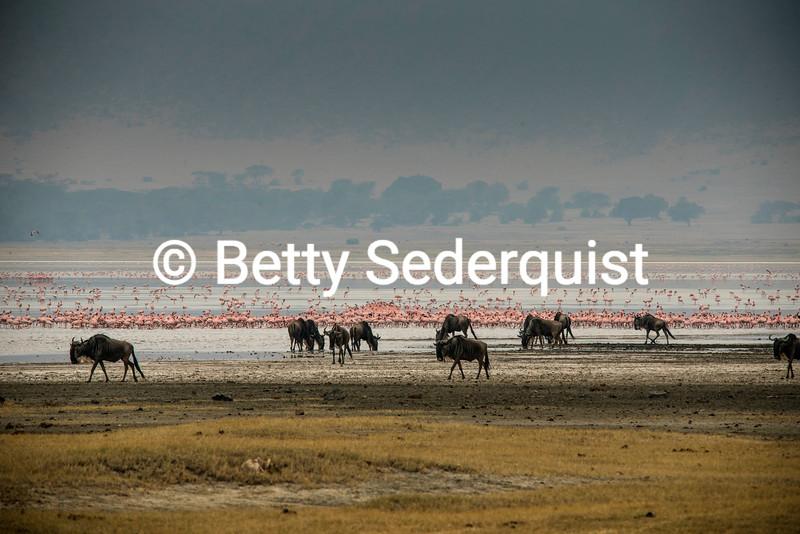 Wildebeests and Flamingos, Ngorongoro Crater