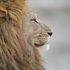 Lion in Tanzania by Kitty Kono in July 2014.