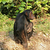 Chimpanzee in Mahale
