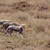 Cheetahs 7363