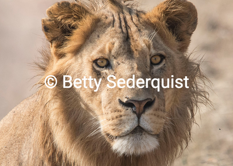 Young Male Lion and Flies