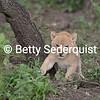 Month old Lion Cub, Serengeti