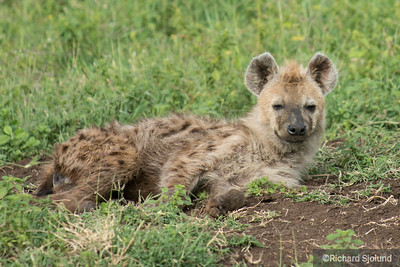 Hyena in Tanzania