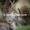 Nursing Vervet Monkey