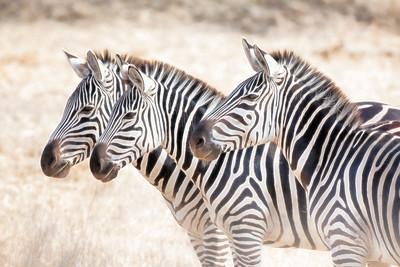 Zebras 0761b