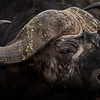 Patterned horns of Cape Buffalo, Serengeti National Park