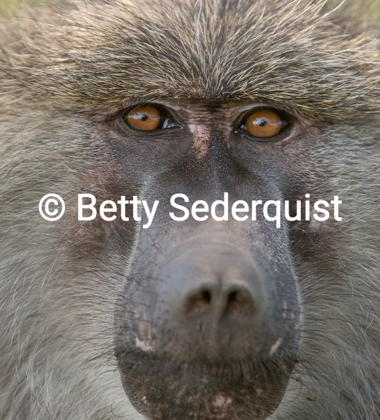 Baboon Face Closeup