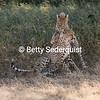 Baby Cheetahs Playing