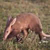 Aardvark on the Serengeti Plains at Ndutu, Tanzania. By Doug Cheeseman taken in February 2008.